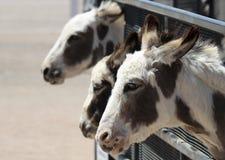 Een Trio van Miniatuur Siciliaanse Ezels in Corral stock foto