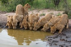 Een troep leeuwen drinkwater samen zij aan zij stock foto