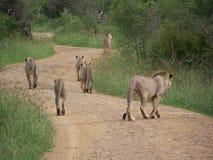 Een Troep leeuwen op de Weg in Madikwe, Zuid-Afrika Stock Fotografie