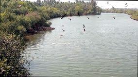 Een troep van adelaars op de rivier stock video