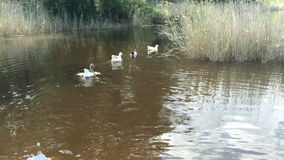 Een troep van binnenlandse vogelseenden en ganzen die op de rivier drijven stock footage