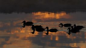 Een troep van bruine eenden zwemt in een meer bij zonsondergang in slo-mo stock footage