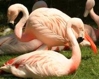 Een troep van Chileense Flamingo's Royalty-vrije Stock Afbeelding