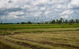 Een troep van duif en mynas in padieveld stock foto's