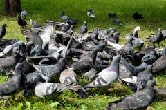 Een troep van duiven die in stadspark voeden Royalty-vrije Stock Foto