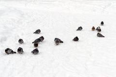 Een troep van duiven op sneeuw, die koud is stock afbeelding