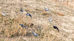 Een troep van duiven tijdens de vlucht Royalty-vrije Stock Afbeeldingen
