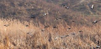 Een troep van duiven tijdens de vlucht Stock Fotografie