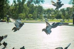 Een troep van duiven vliegt in het park in het midden van een heldere zon en een fontein in duidelijk weer Royalty-vrije Stock Afbeelding