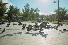 Een troep van duiven vliegt in het park in het midden van een heldere zon en een fontein in duidelijk weer Stock Afbeelding