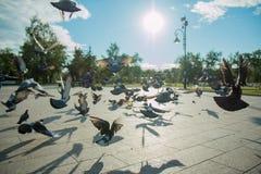 Een troep van duiven vliegt in het park in het midden van een heldere zon en een fontein in duidelijk weer Royalty-vrije Stock Afbeeldingen