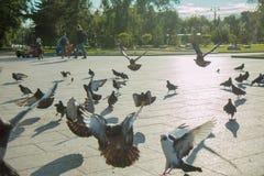 Een troep van duiven vliegt in het park in het midden van een heldere zon en een fontein in duidelijk weer Stock Fotografie