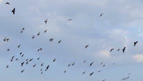 Een troep van duiven vliegt hoog in een blauwe hemel met witte wolken stock videobeelden