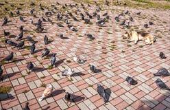 Een troep van duivengangen en voer dichtbij een hondslaap in de zon Stock Foto