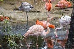 Een troep van flamingo's in de vijver van de Dierentuin van Moskou royalty-vrije stock fotografie