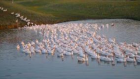 Een troep van ganzen bij zonsondergang springt in het vijverwater, duizenden ganzen stock video