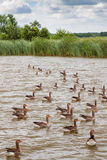 Een troep van ganzen drijft op een kanaal in Engels Norfolk Broads Royalty-vrije Stock Foto
