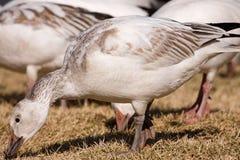 Een troep van ganzen, het voeden Royalty-vrije Stock Afbeeldingen
