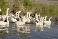 Een troep van ganzen op het water stock afbeelding