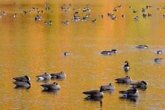 Een troep van ganzen op een meer in de herfst Royalty-vrije Stock Afbeelding