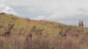 Een troep van giraffen loopt op de sluier stock videobeelden