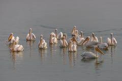 Een troep van grote pelikanen op het water royalty-vrije stock foto