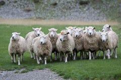 Een troep van het lopen schapen Stock Afbeeldingen