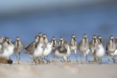 Een troep van hetGefactureerde griseus van Dowitcher Limnodromus voederen op het strand van Florida Royalty-vrije Stock Afbeelding