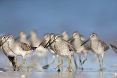 Een troep van hetGefactureerde griseus van Dowitcher Limnodromus voederen op het strand van Florida Stock Foto's