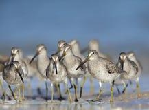 Een troep van hetGefactureerde griseus van Dowitcher Limnodromus voederen op het strand van Florida Stock Fotografie