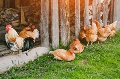 Een troep van kippen en een haan in een schuur in het dorp Royalty-vrije Stock Fotografie