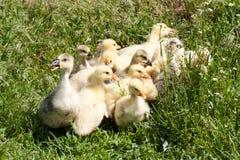 Een troep van kleine ganzen die in groen gras weiden Royalty-vrije Stock Fotografie