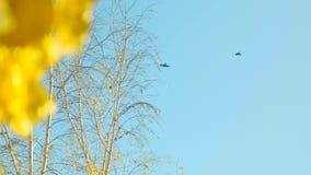 Een troep van kraaien in de blauwe hemel Vliegende vogels op de achtergrond van berktakken met gele bladeren stock videobeelden