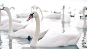 Een troep van mooie witte zwanen die in het meer zwemmen stock video