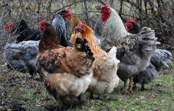 Een troep van multicolored kippen en haan Royalty-vrije Stock Foto's