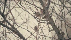 Een troep van mussen die op de takken van bomen in de winter zitten stock videobeelden
