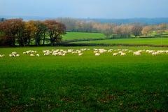 Een troep van ongeveer zestig schapen op een gebied in het Platteland van Sussex, het Verenigd Koninkrijk stock foto's