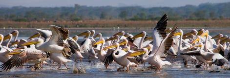 Een troep van pelikanen die van het water opstijgen Meer Nakuru kenia afrika Stock Foto's