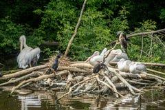 Een troep van pelikanen en aalscholvers stock afbeeldingen