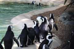 Een troep van pinguïnen bij Dierentuin Stock Afbeeldingen