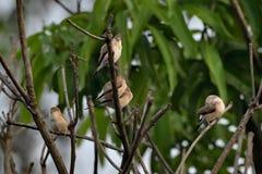 Een troep van robins royalty-vrije stock foto