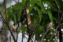 Een troep van robins royalty-vrije stock afbeelding