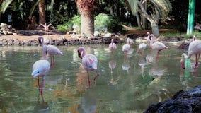 Een troep van roze flamingo's stock video