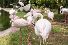 Een troep van roze flamingo's in een vogelpark Royalty-vrije Stock Fotografie