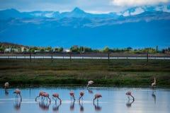 Een troep van roze flamingo's leunde naar het water Shevelev Stock Fotografie