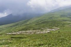 Een troep van schapen Stock Afbeeldingen