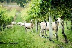 Een troep van schapen bij wijngaard staart merkwaardig in de camera stock afbeeldingen