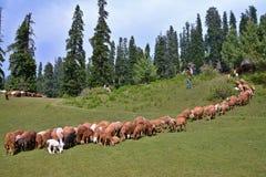 Een troep van schapen die bij een weide in Naran-Vallei, Pakistan weiden stock fotografie