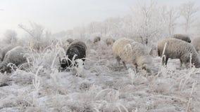 Een troep van schapen die in de sneeuw in de winter weiden stock footage
