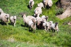 Een troep van schapen die een heuvel reduceren stock afbeelding